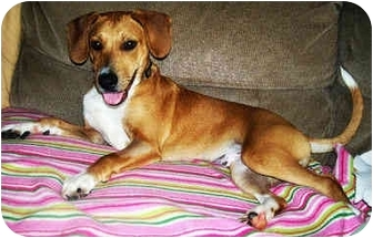 Beagle/Labrador Retriever Mix Dog for adoption in Latrobe, Pennsylvania - Gunner