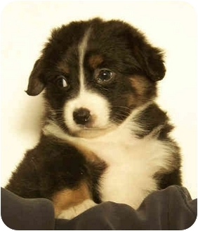 Shiba Inu/Schnauzer (Miniature) Mix Puppy for adoption in El Segundo, California - Abigail