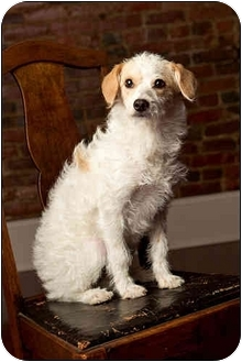 Wirehaired Fox Terrier/Poodle (Miniature) Mix Dog for adoption in Owensboro, Kentucky - Amelia