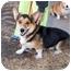 Photo 1 - Pembroke Welsh Corgi Dog for adoption in Inola, Oklahoma - Booker