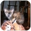 Photo 1 - Domestic Mediumhair Kitten for adoption in Union, South Carolina - Amber