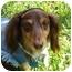 Photo 1 - Dachshund Dog for adoption in Colleyville, Texas - Jamie