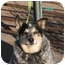 Photo 2 - Australian Cattle Dog Dog for adoption in Phoenix, Arizona - Andy