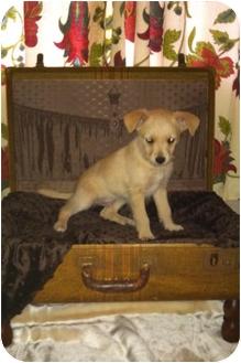 Cairn Terrier Mix Puppy for adoption in El Segundo, California - Jiggy
