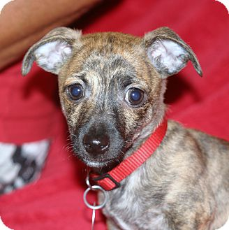 Chihuahua Mix Puppy for adoption in Santa Ana, California - Firecracker