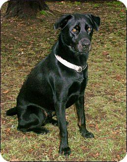 Labrador Retriever Mix Dog for adoption in Colville, Washington - Bradly