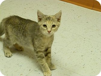 Domestic Shorthair Kitten for adoption in Newark, Delaware - Eden