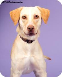 Labrador Retriever Mix Dog for adoption in Columbus, Georgia - Charlie 4172