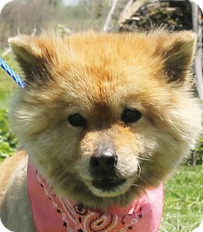 Chow Chow/Poodle (Standard) Mix Dog for adoption in Lexington, Missouri - Toy