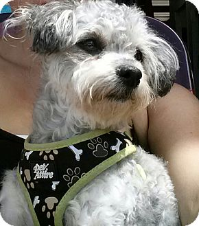 Poodle (Miniature)/Yorkie, Yorkshire Terrier Mix Dog for adoption in Santa Ana, California - Millie