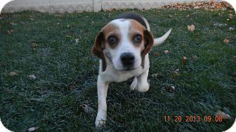 Beagle Mix Dog for adoption in Sandusky, Ohio - Surii