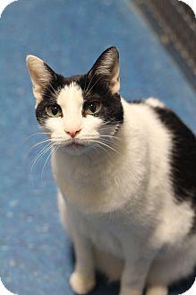 Domestic Shorthair Cat for adoption in Alpharetta, Georgia - Kezhman