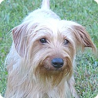 Adopt A Pet :: Silky - Mocksville, NC