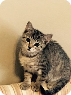 Domestic Shorthair Kitten for adoption in oxford, New Jersey - Sassy