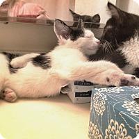 Adopt A Pet :: Manju - Chicago, IL