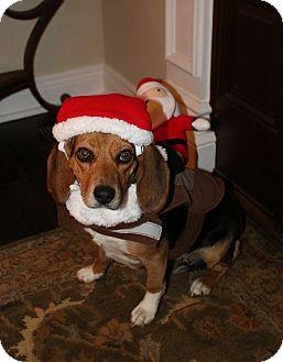 Beagle Mix Dog for adoption in LaGrange, Kentucky - ISABELLE