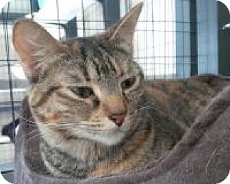 American Shorthair Cat for adoption in New Orleans, Louisiana - Firebolt