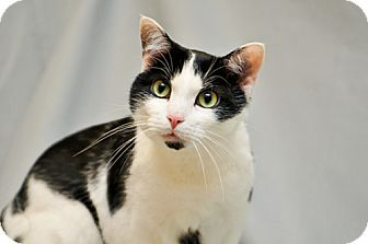 Domestic Shorthair Cat for adoption in Cary, North Carolina - Peppy--ADOPTED