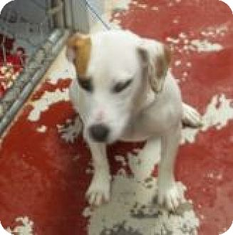 Australian Cattle Dog Mix Dog for adoption in Silver City, New Mexico - Boop