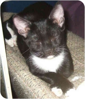 Domestic Shorthair Kitten for adoption in Tracy, California - Minnie
