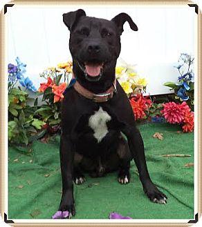 American Pit Bull Terrier Mix Dog for adoption in Marietta, Georgia - BRUNO