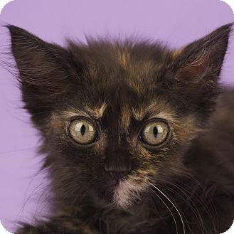 Domestic Longhair Kitten for adoption in Columbia, Illinois - Electra