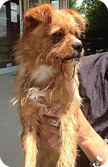 Yorkie, Yorkshire Terrier/Shih Tzu Mix Dog for adoption in Newburgh, Indiana - Carrot Top