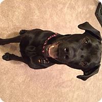 Adopt A Pet :: Holly - Staunton, VA