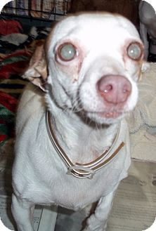 Chihuahua Dog for adoption in Greenville, Kentucky - lucy