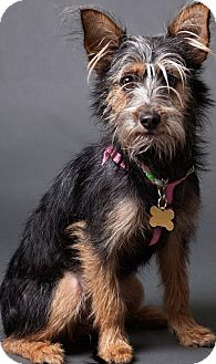 Yorkie, Yorkshire Terrier/Terrier (Unknown Type, Small) Mix Dog for adoption in Thousand Oaks, California - Carmela