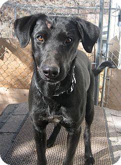 Labrador Retriever Mix Dog for adoption in Jemez Springs, New Mexico - Jerry
