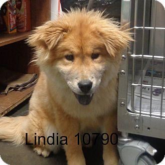 Chow Chow Mix Dog for adoption in Greencastle, North Carolina - Linda