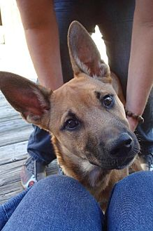 Belgian Malinois/Doberman Pinscher Mix Dog for adoption in Decatur, Georgia - Leon Russell *Seeks Loving Loner*