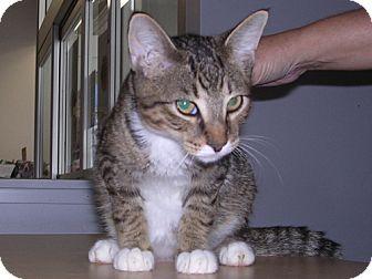Domestic Shorthair Cat for adoption in DeLand, Florida - Blake