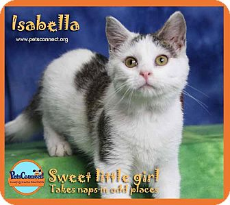 Domestic Shorthair Cat for adoption in South Bend, Indiana - Isabella