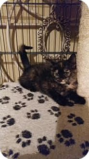 Domestic Shorthair Kitten for adoption in Morris, Illinois - ADDISON
