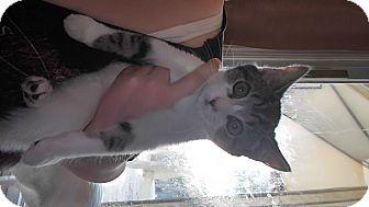 Domestic Shorthair Kitten for adoption in Baltimore, Maryland - Jenny