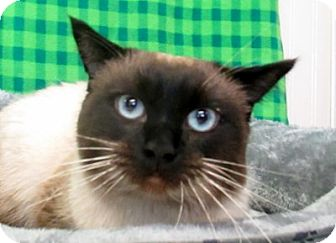 Siamese Cat for adoption in Lloydminster, Alberta - Simon
