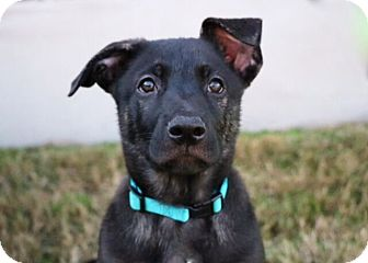 Shepherd (Unknown Type)/Catahoula Leopard Dog Mix Puppy for adoption in Austin, Texas - Carter Beauford