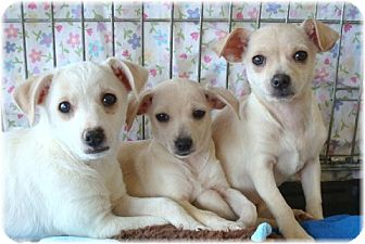 Chihuahua Mix Puppy for adoption in Las Vegas, Nevada - Runtie
