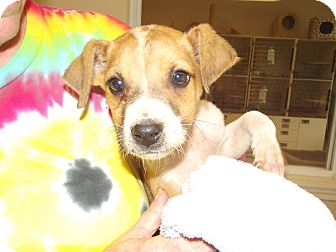 Terrier (Unknown Type, Small) Mix Puppy for adoption in Marshall, Texas - Stubbs