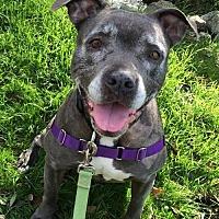 Adopt A Pet :: Chloe - Petaluma, CA