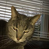 Domestic Shorthair Cat for adoption in Lima, Ohio - Brutus