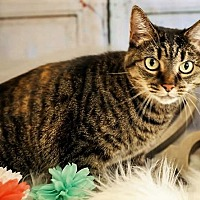 Adopt A Pet :: Lily (declaw(4paw) - Chattanooga, TN