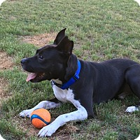 Adopt A Pet :: Charlie - Unionville, VA
