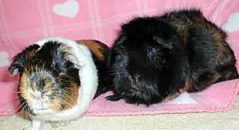 Guinea Pig for adoption in Highland, Indiana - Machu