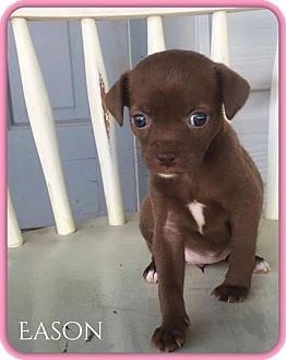 Terrier (Unknown Type, Small) Mix Puppy for adoption in DeForest, Wisconsin - Eason