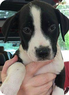 Labrador Retriever Mix Puppy for adoption in Boston, Massachusetts - Gable