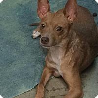 Terrier (Unknown Type, Medium) Mix Dog for adoption in Redding, California - Ada($175)