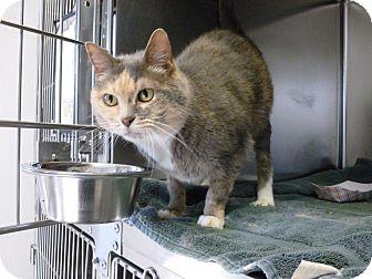 Domestic Shorthair Cat for adoption in Greensboro, North Carolina - Jean